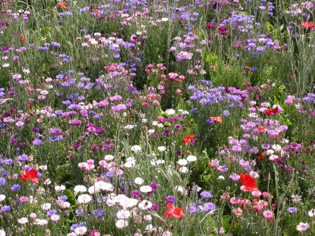 Jachère Fleurs Semis d'Automne