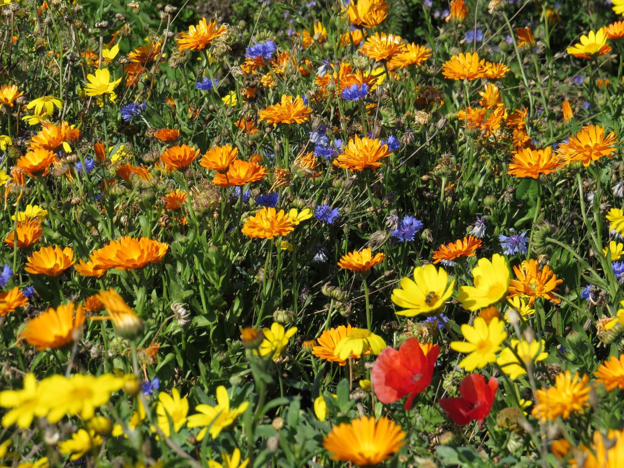 Fleurs des Moissons