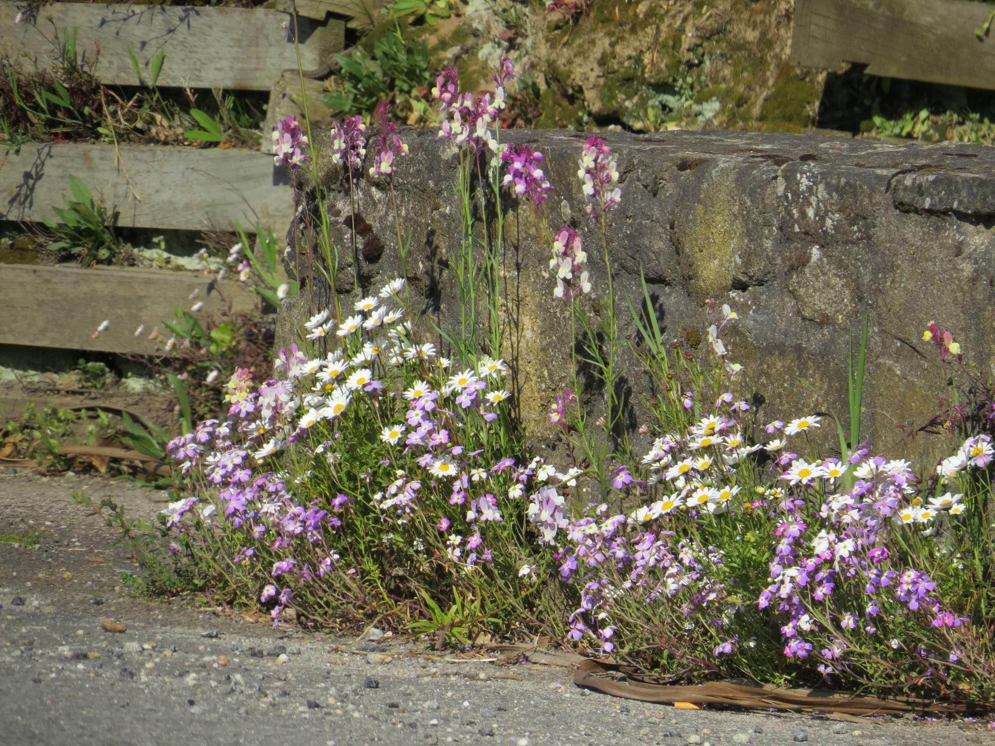 Fleurs Pieds de Mur