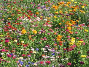 Jachère Fleurs Courtes